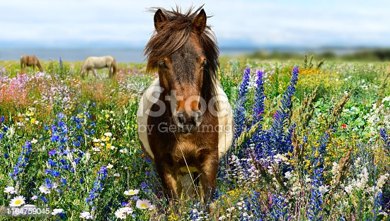 Pony horse head with yellow meadow and blue sky
