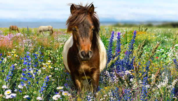 Pony head with yellow meadow and blue sky Pony horse head with yellow meadow and blue sky pony stock pictures, royalty-free photos & images