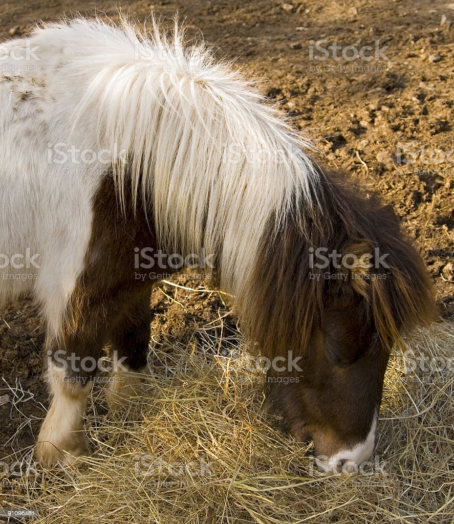 Pony & his dinner royalty-free stock photo