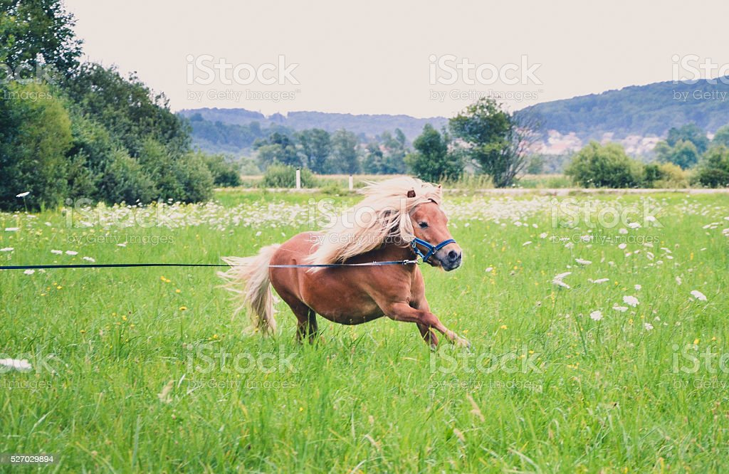 Pony horse on a leash is galloping on the meadow stock photo