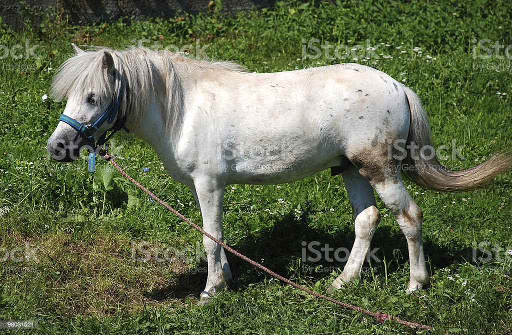 Cavallo pony foto stock royalty-free