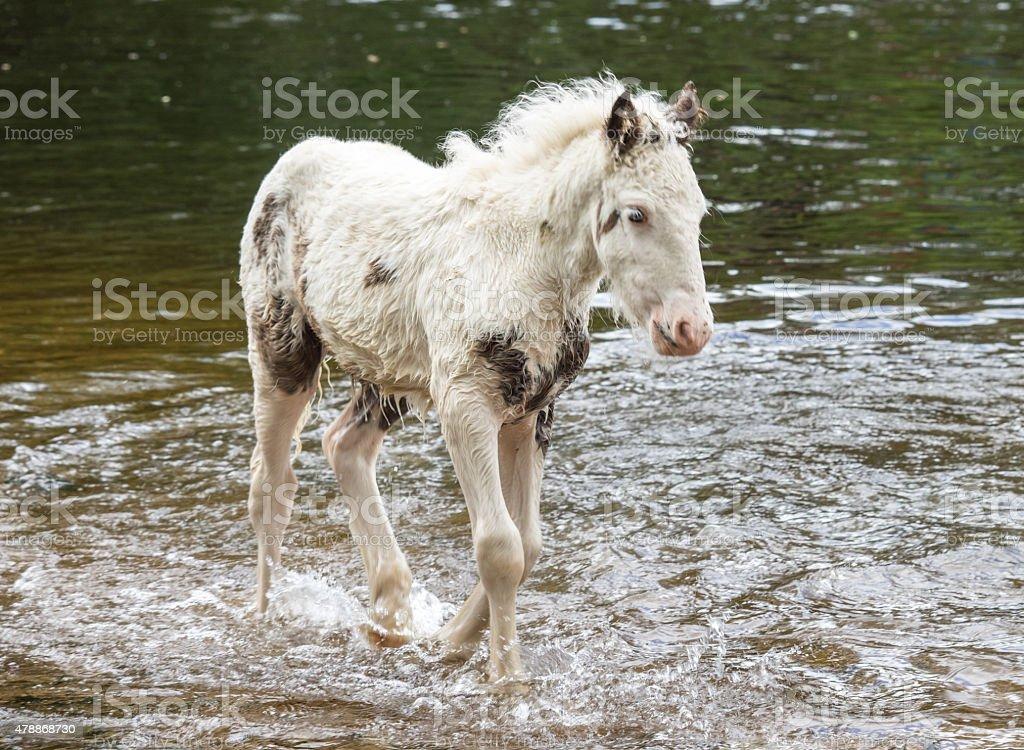 Pony in River stock photo