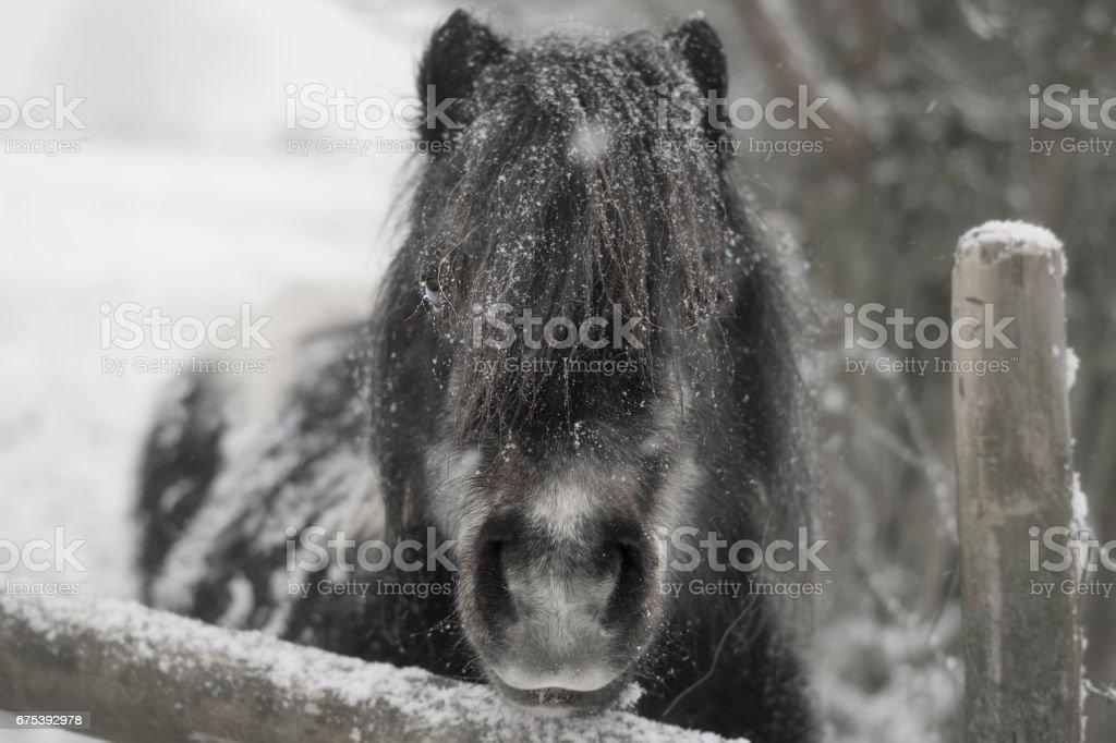 Pony in winter snow photo libre de droits