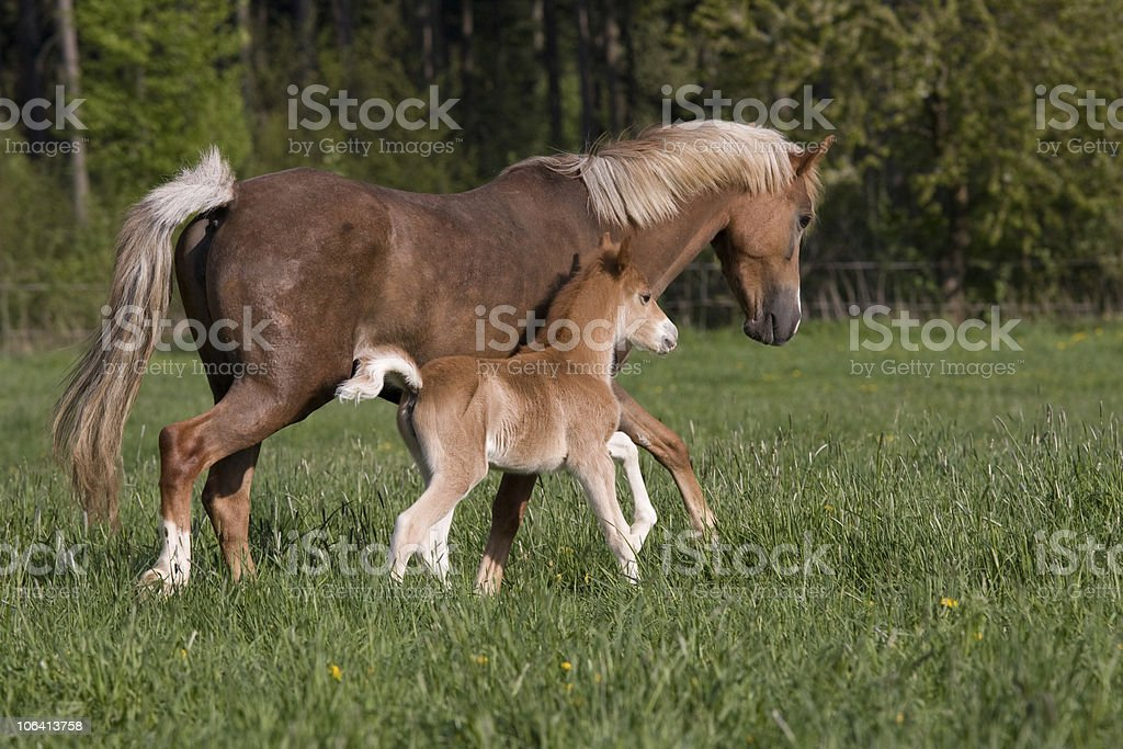 Pony mare with foal royalty-free stock photo