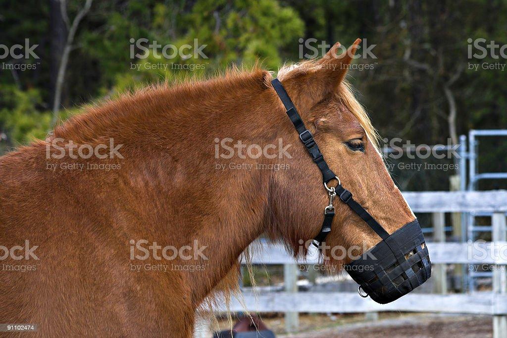 Pony Muzzle stock photo