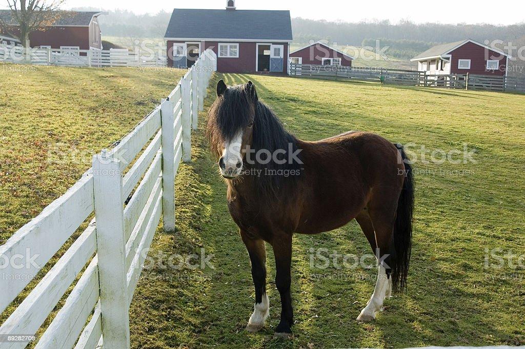 pony on farm royalty-free stock photo
