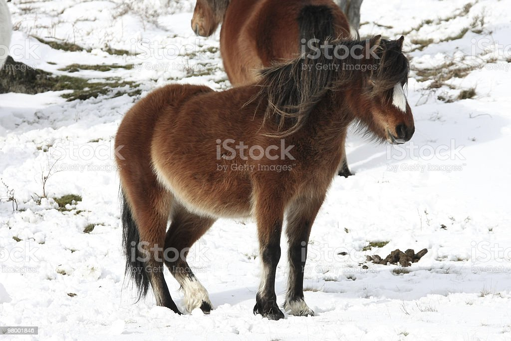 Pony royalty-free stock photo