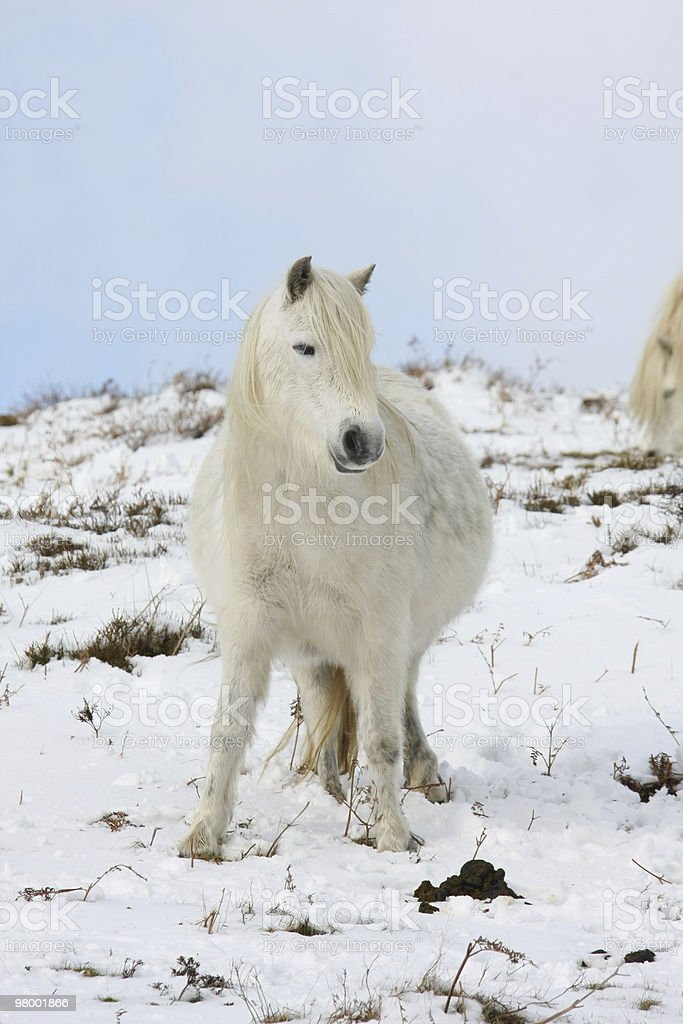 Pony royalty free stockfoto