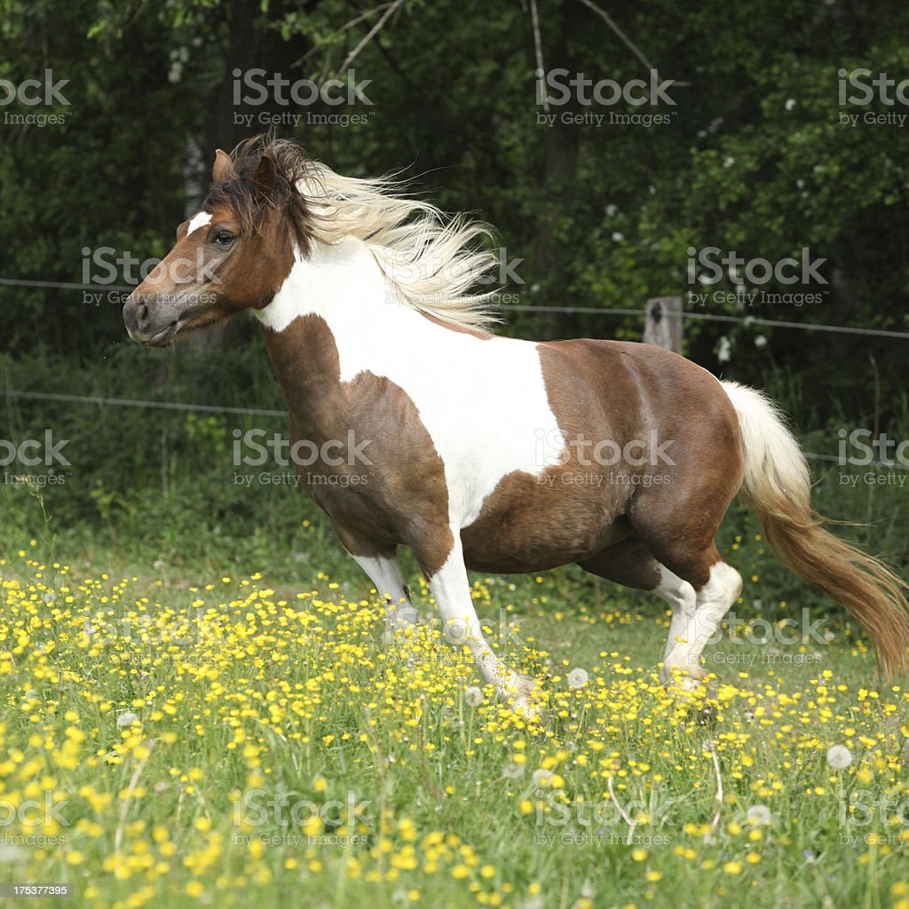Pony running in yellow flowers on pasturage royalty-free stock photo