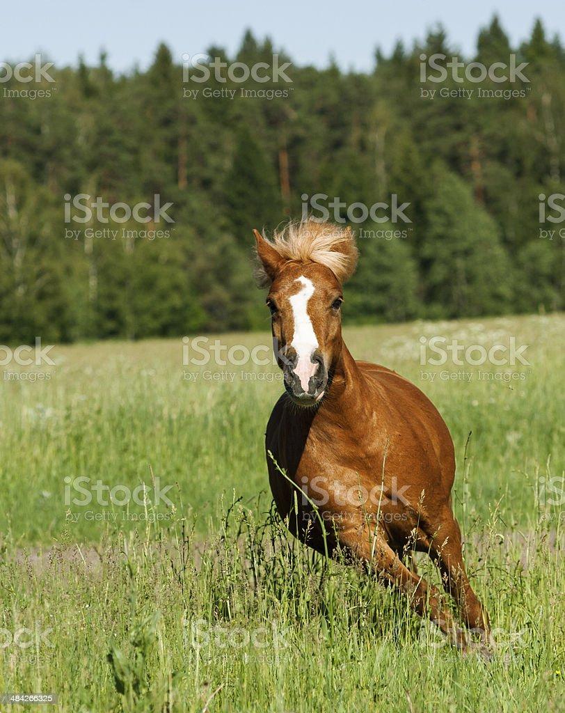 pony runs stock photo