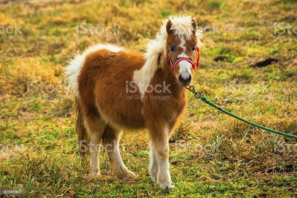 Pony stand in grass field stock photo