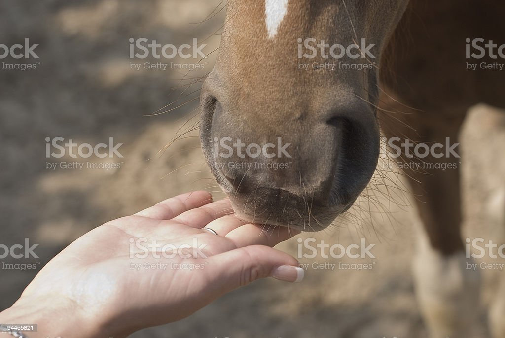 Pony with a Friendly Hand royalty-free stock photo
