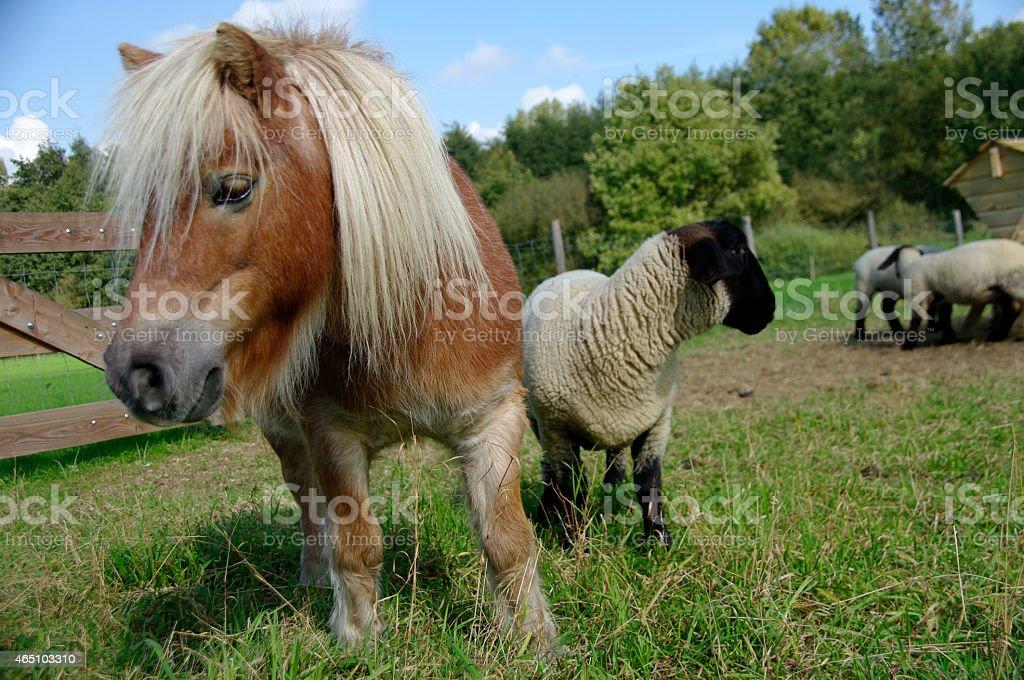 Pony with blackface sheep stock photo