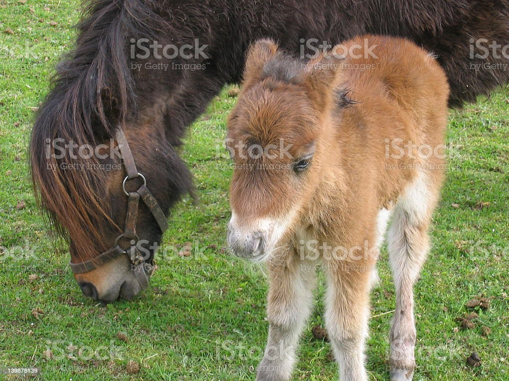 Pony with her son royalty-free stock photo