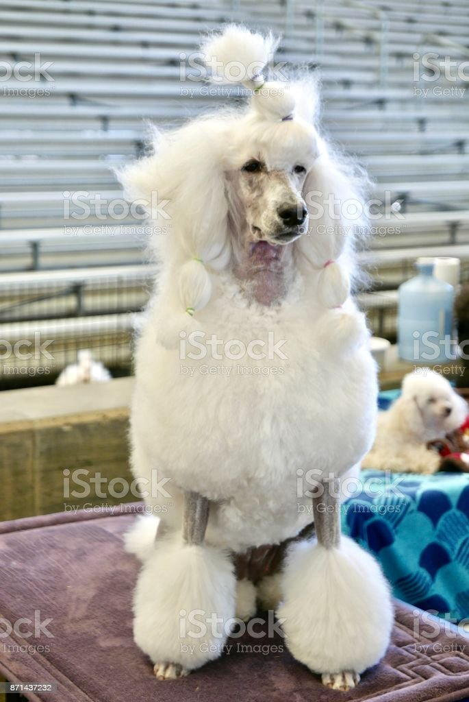 ponytail poodle stock photo