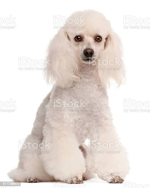 Poodle 2 years old sitting in front of white background picture id517298872?b=1&k=6&m=517298872&s=612x612&h= zt nuepp1glq6yqaznu h95cmzrncznlhlafdht040=
