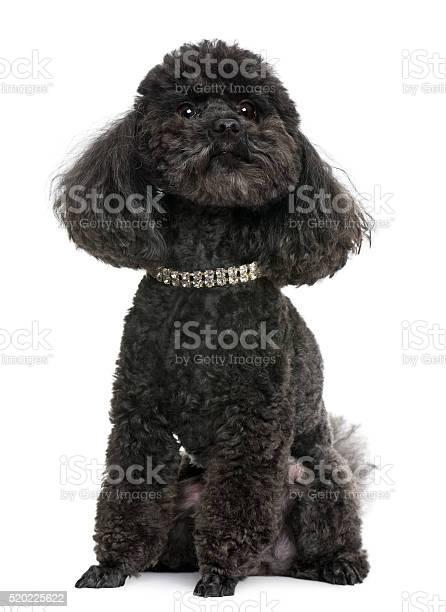 Poodle 5 years old with diamond collar picture id520225622?b=1&k=6&m=520225622&s=612x612&h=nux43kvvck61lxefbld tfiiq0kr6 etuhvspvpf8po=