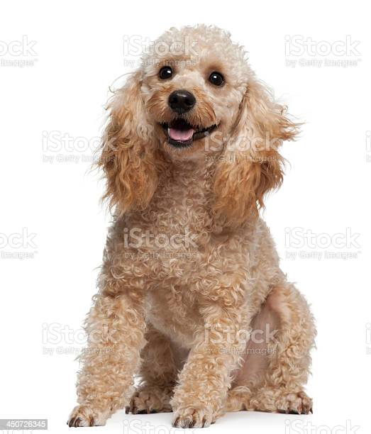 Poodle 9 years old sitting in front of white background picture id450726345?b=1&k=6&m=450726345&s=612x612&h=nubsaijdt4wuxnzdmt5gp1rxwhrxkjr0xxd7wjjbtl4=
