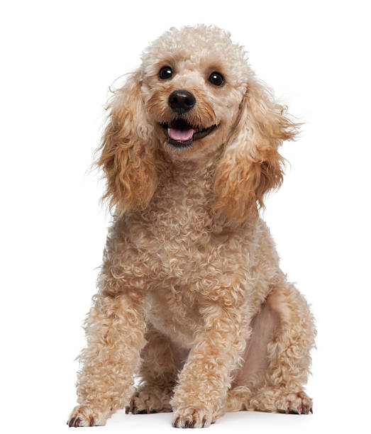 Poodle 9 years old sitting in front of white background picture id450726345?b=1&k=6&m=450726345&s=612x612&w=0&h=knmjeji9azuc wq2ajmugjy1na937ddf5mhjhuiarbq=