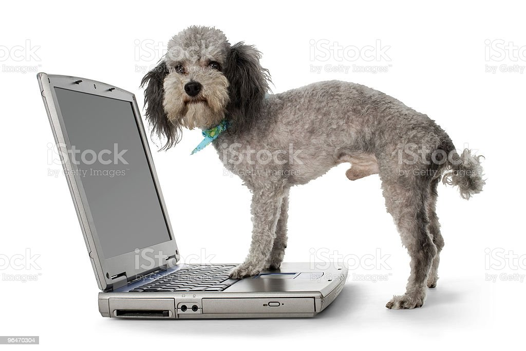Poodle and Laptop royalty-free stock photo