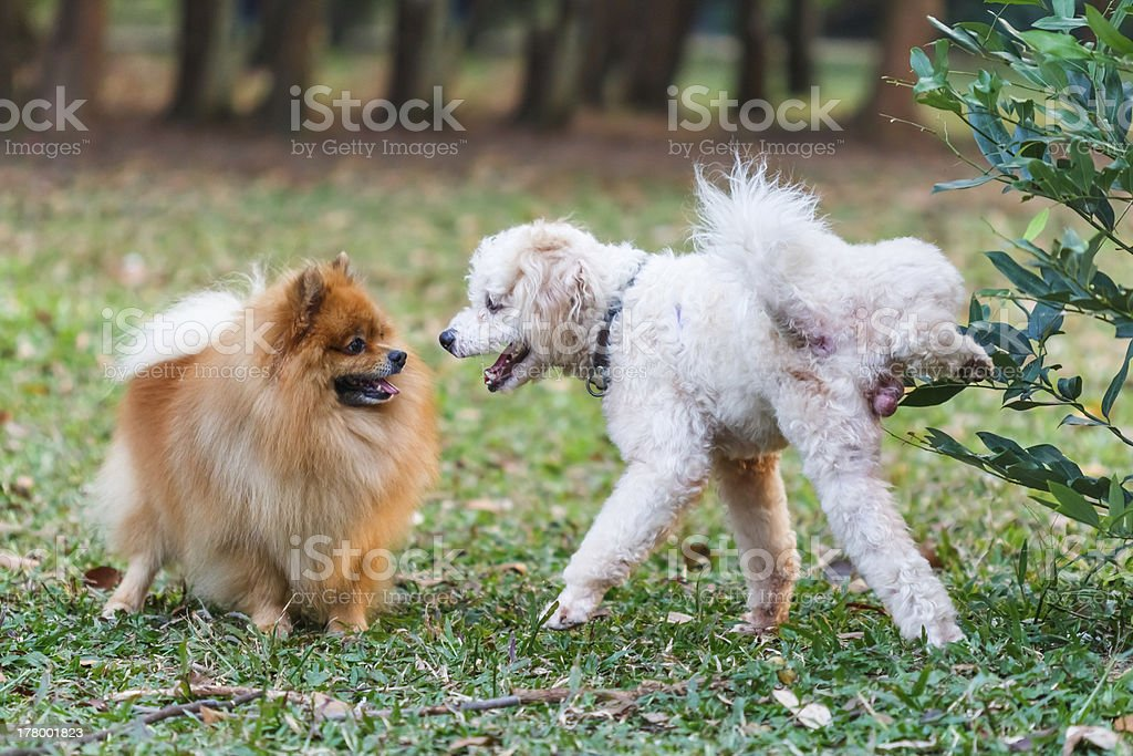 Poodle and Pomeranian royalty-free stock photo