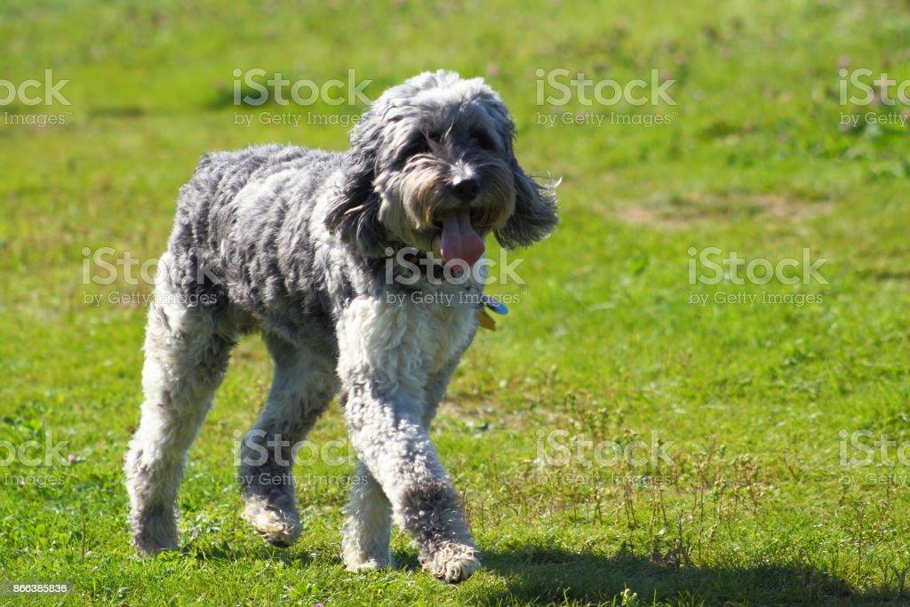 Pudelaustralian Shepherdmix Stock Fotografie Und Mehr Bilder Von
