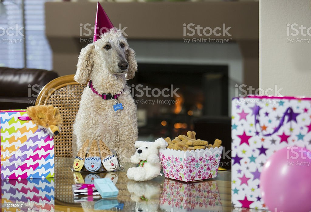 Poodle birthday party stock photo