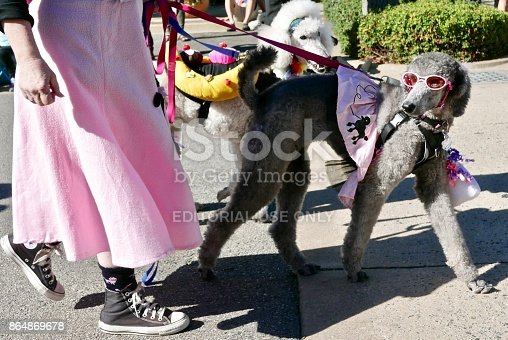 Street shots of Poodles, October 7th, 2017. Carmel California,  Poodles are walked through the town in costumes to raise awareness for poodles and dog adoption.