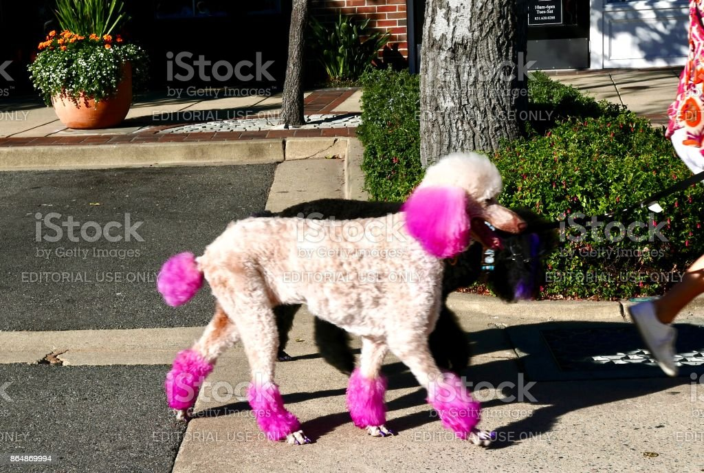 Poodle Day stock photo