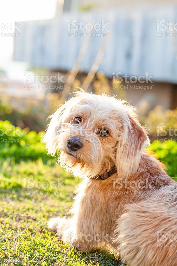 Barboncino cane nel giardino - foto stock