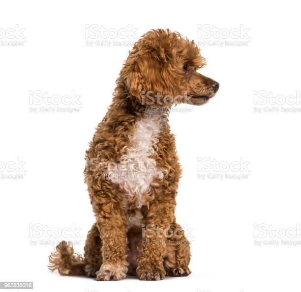 Poodle dog looking away against white background picture id962838016?b=1&k=6&m=962838016&s=612x612&h=g21bjo6ey58goonnt4jfie7r uwgx7cn  ayf2fiacw=