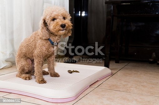 Poodle dog next to indoor training toilet tray with poop faeces