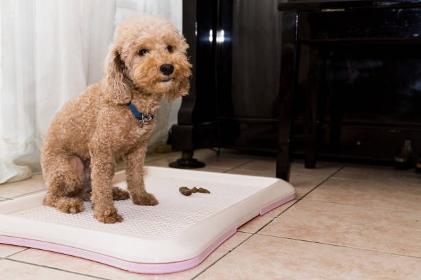 Poodle dog next to training toilet tray with poop faeces Poodle dog next to indoor training toilet tray with poop faeces padding stock pictures, royalty-free photos & images