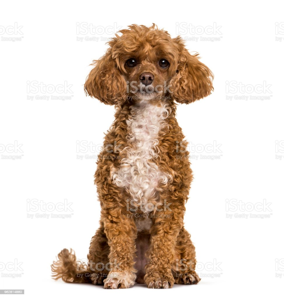 Poodle dog sitting and looking at camera against white background - Foto stock royalty-free di Ambientazione interna
