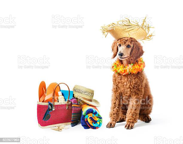 Poodle dog vacation with beach bag on white background picture id522927963?b=1&k=6&m=522927963&s=612x612&h=ec0s7ilu6iyfemu6elukjr1ui757geg48 feb9r92ky=