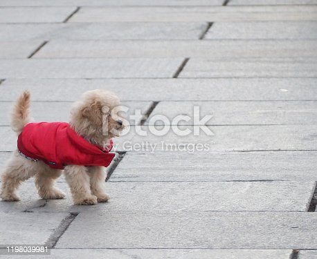 Poodle dog on the pavement with copy space