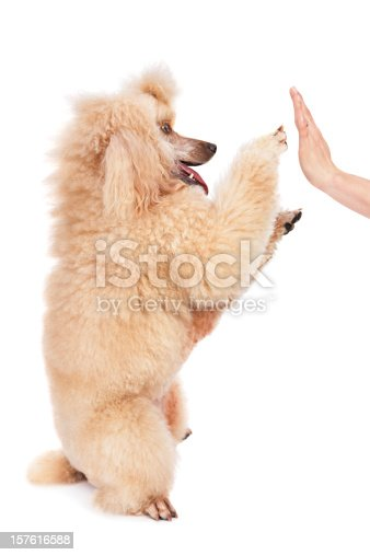 Medium/standard poodle giving a high five to her owner