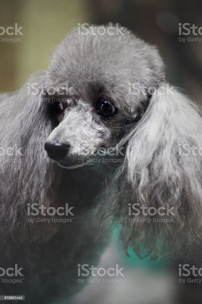 Astounding Poodle Hairstyle Groomer Professional Stock Photo Download Image Natural Hairstyles Runnerswayorg