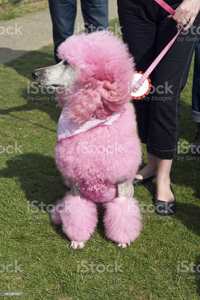 Pudel in pink – Foto