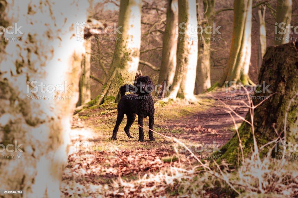 Poodle in the woods photo libre de droits