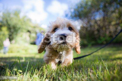 Poodle Labrador puppy on leash in backyard