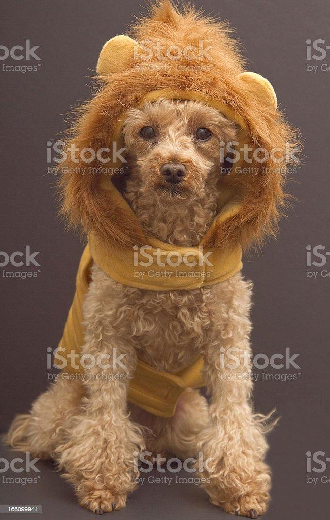 Poodle Lion stock photo