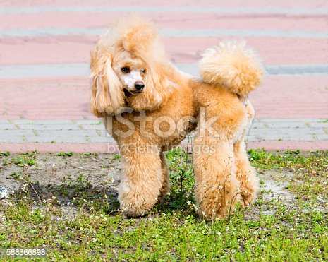 The Poodle stands on the green grass.