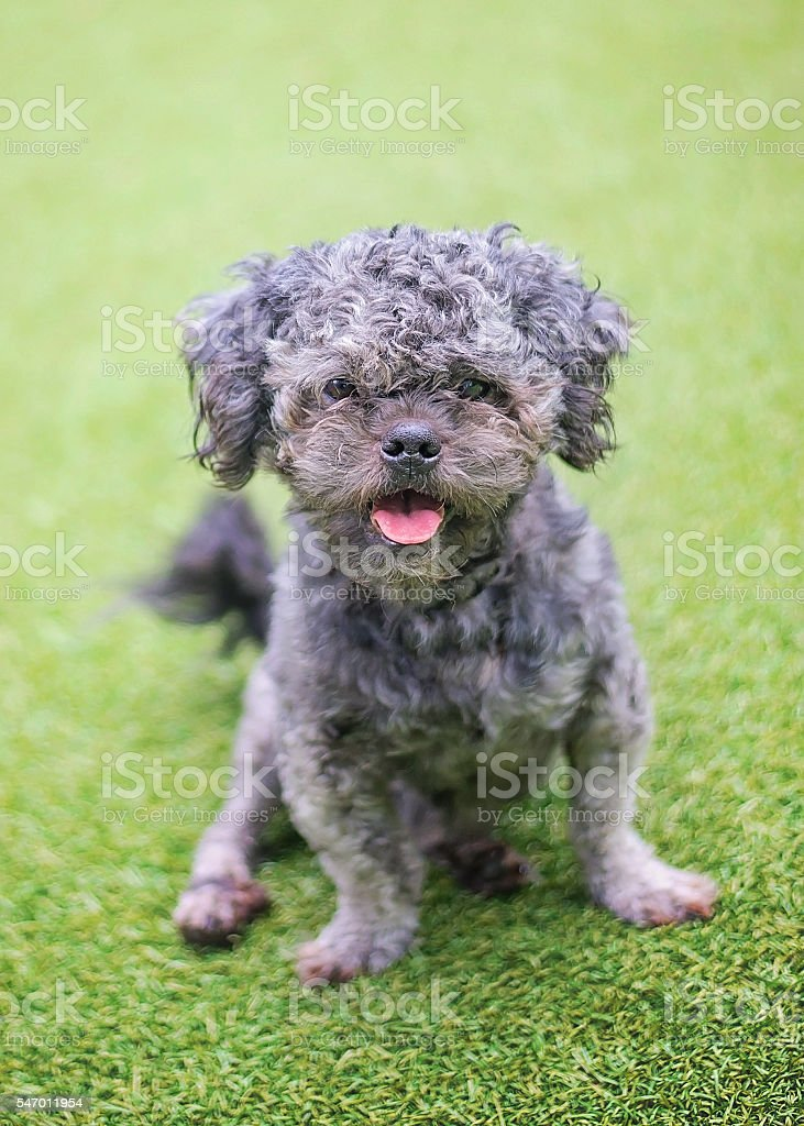 Poodle Mix in Shelter stock photo
