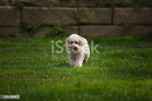 Young happy poodle walking through the grass.