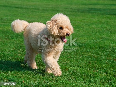 Poodle Young happy and content running on the grass on a spring day.