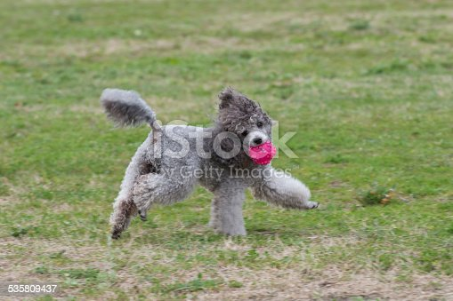 istock poodle 535809437