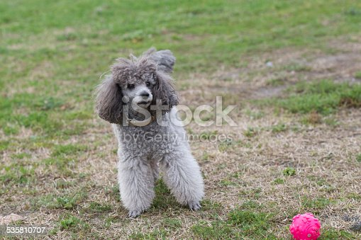 istock poodle 535810707