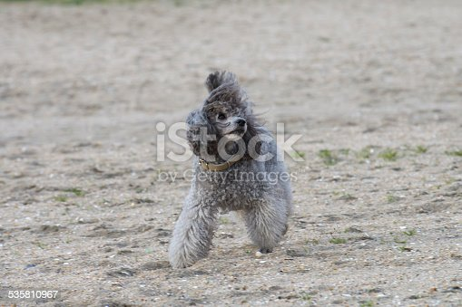 istock poodle 535810967