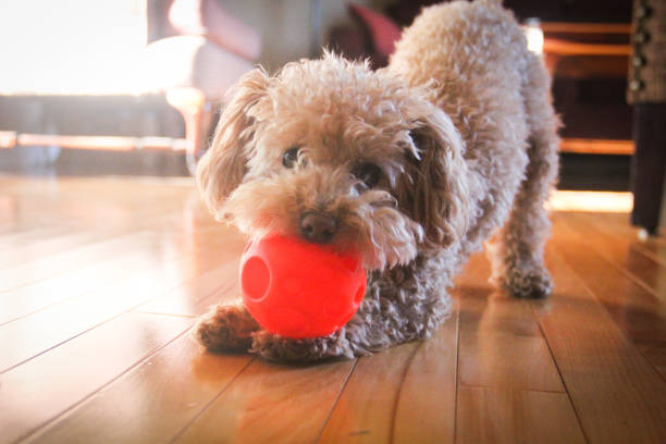 Poodle Playing A small poodle biting on an orange ball. poodle stock pictures, royalty-free photos & images